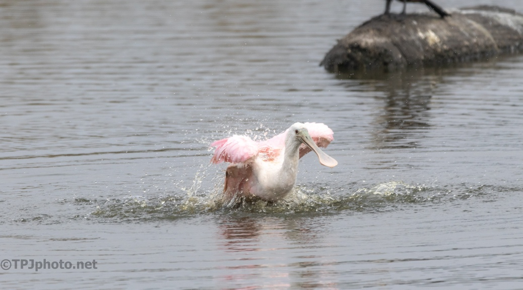 Getting A Bath, Spoonbill - click to enlarge