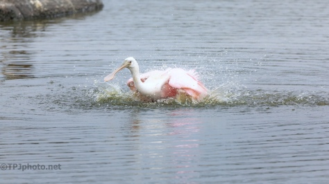 Bath Time, Spoonbill - click to enlarge