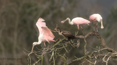 Disagreement, Spoonbill And Cormorant - click to enlarge