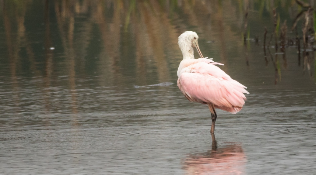 Perfectly Pink, Spoonbill - click to enlarge