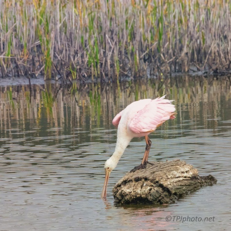 Watching A Roseate Spoonbill - click to enlarge
