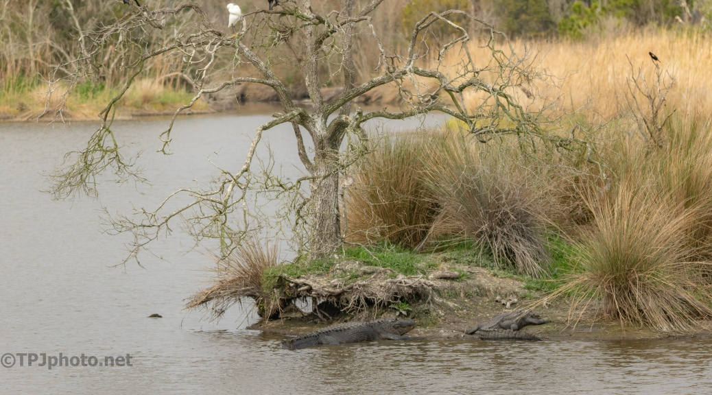 Don't Fall From The Tree, Alligator - click to enlarge