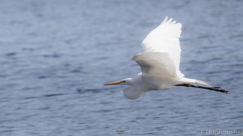 White Lightning, Egret - click to enlarge