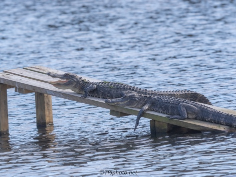 Closer To Home, Alligators