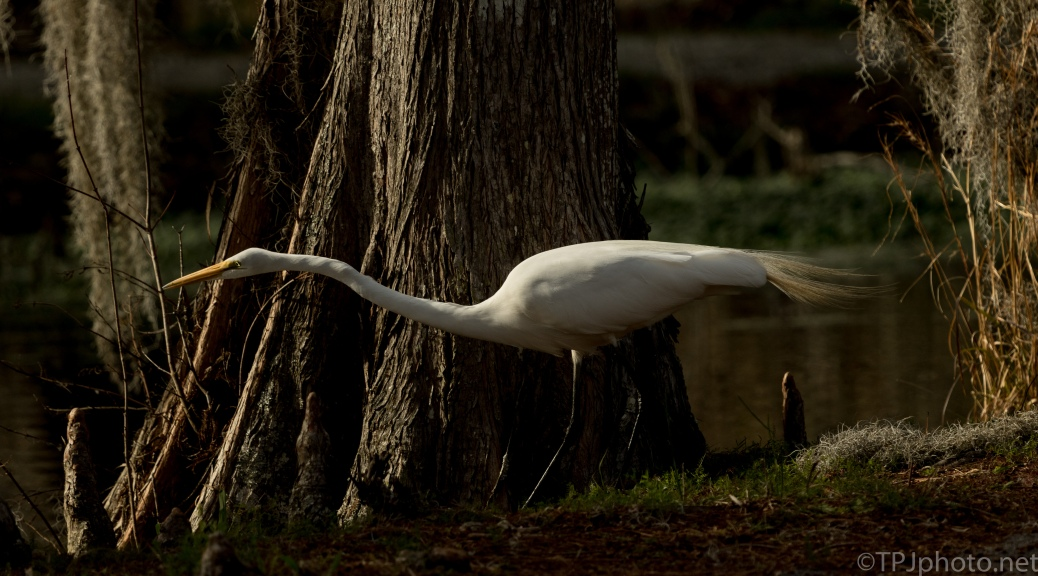 Dark Swamp, Great Egret - click to enlarge