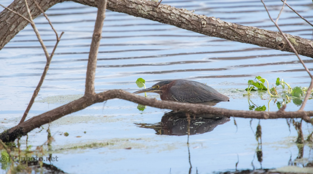 Lurking Green Heron - click to enlarge