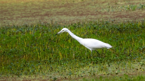 Little Blue Heron, Youngster