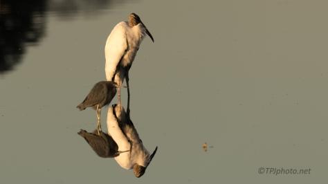 First Light, Wood Stork, Little Blue Heron
