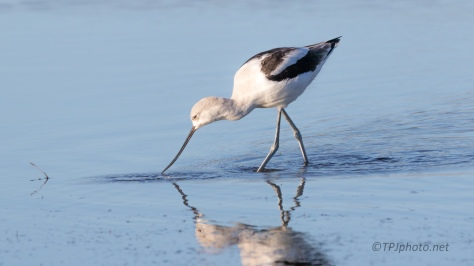 Avocet In Shallows