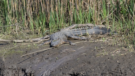 When You See This (Alligator)