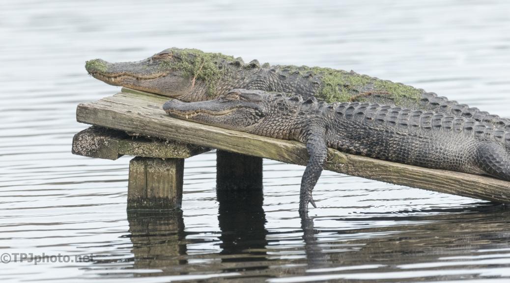 Like A Couple On Vacation, Alligator