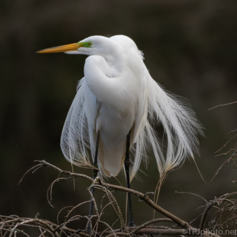 All Dressed Up. Great Egret