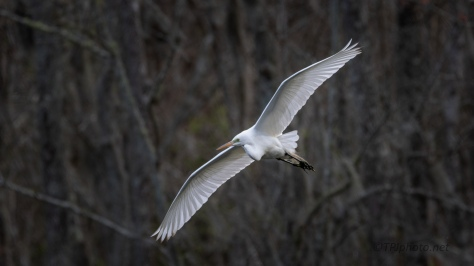 Late Day Great Egret