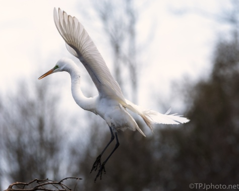 Egret, To A Cypress Tree