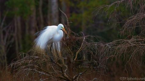 Great Egret, Last Light