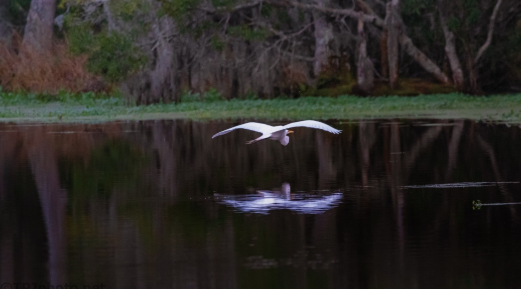Egret, Low Over A Swamp