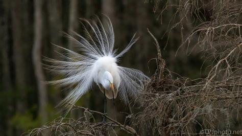 Great Egret Mating Dance