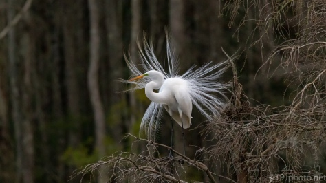 Great Egret Mating Dance