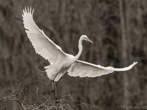 Egret, A Soft Colored Photograph