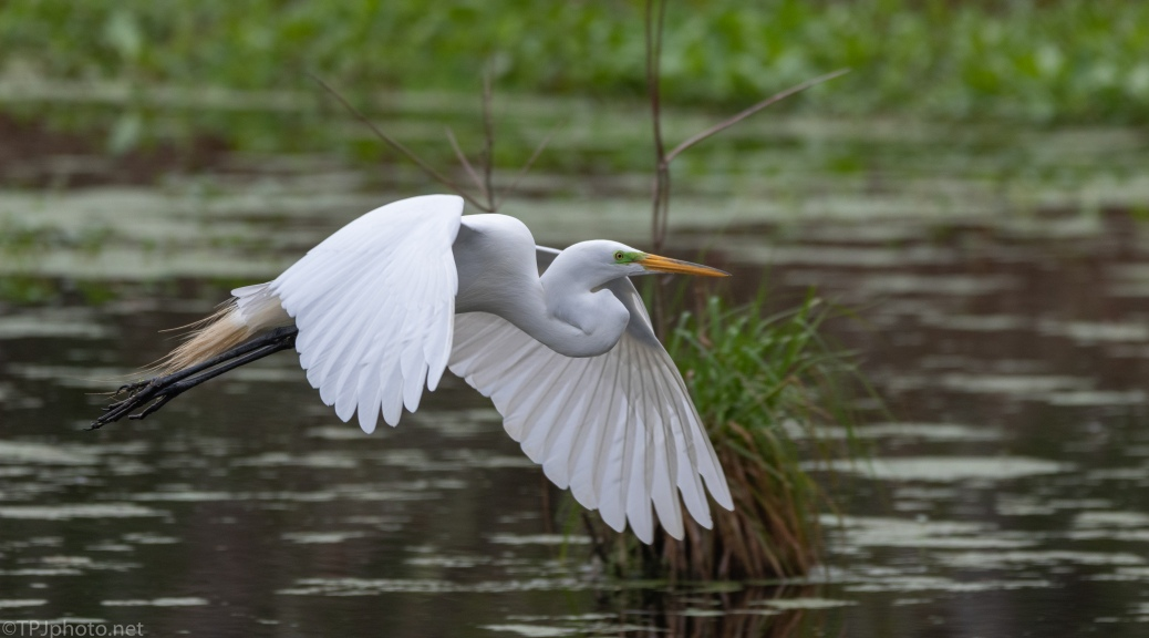 Great Egret Over The Swamp