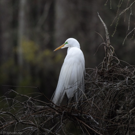 Above The Fray, Great Egret