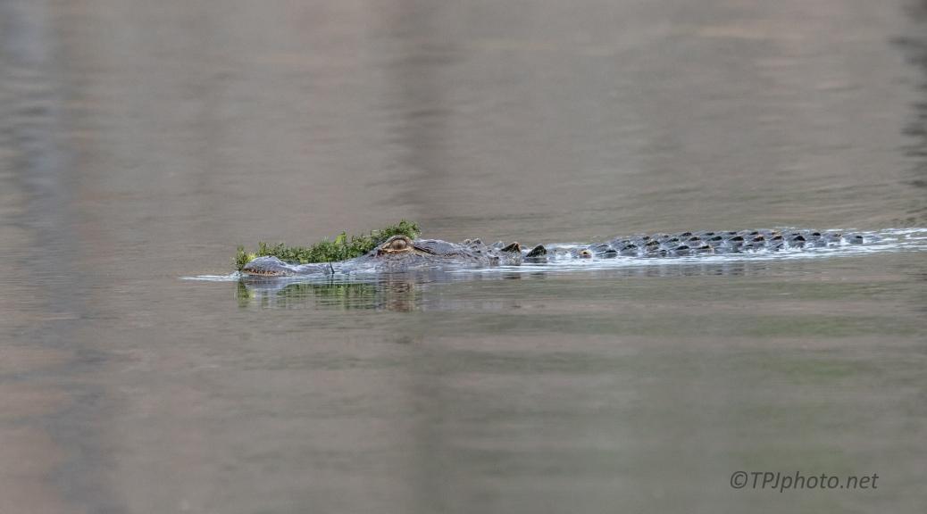 Successful Hunt, Alligator