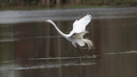 Plucked From The Water, Egret - click to enlarge