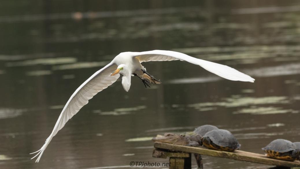 Egret Skimming The Alligator, Turtles