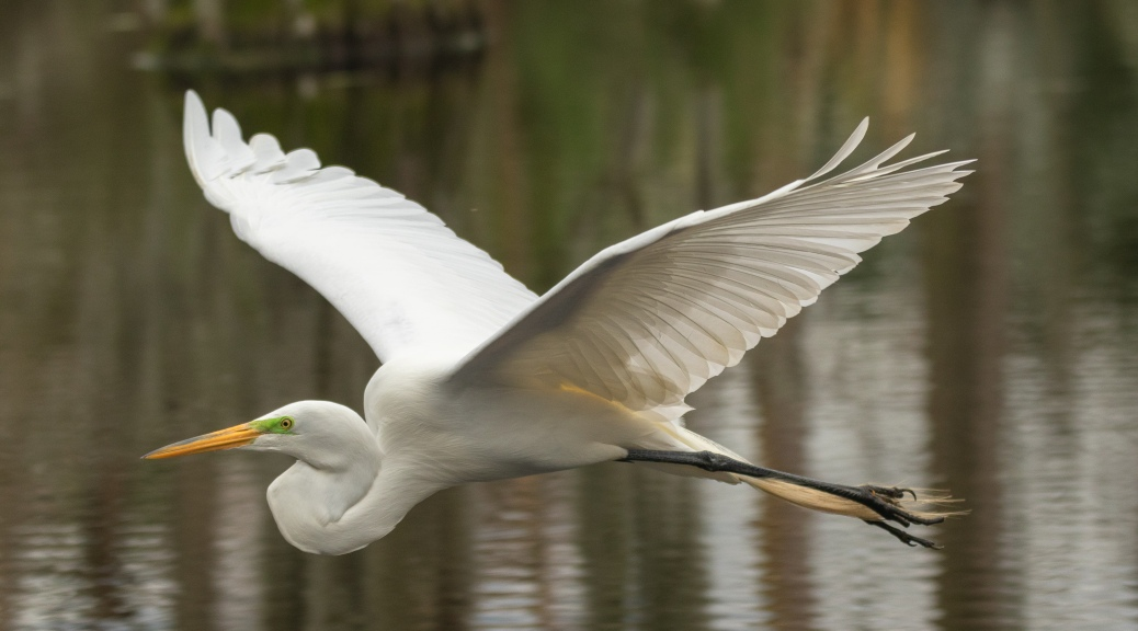 Close Fly By, Egret