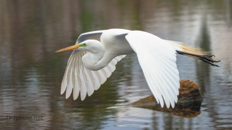 Egret, Close Fly By - click to enlarge