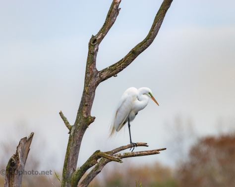 Great Egret, Top Of The Rookery
