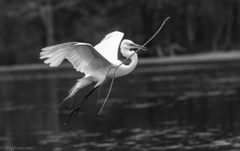 Who Better For Black And White, Egret