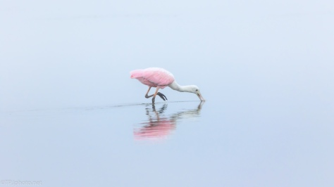 Why I Like Fog, Spoonbill
