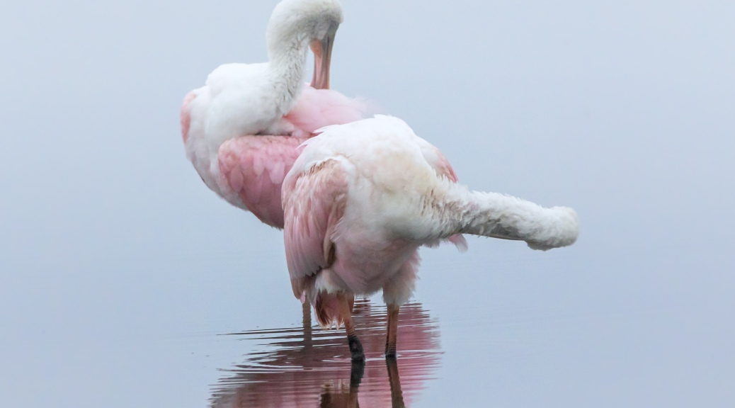 Morning Spoonbills