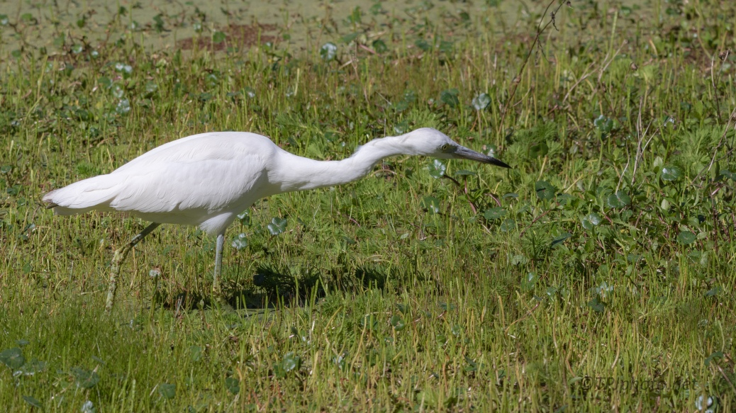 There Must be Something Here, Little Blue Heron