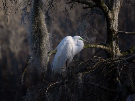 End Of The Day, Great Egret