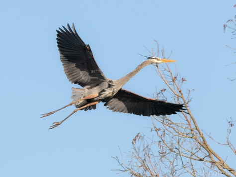 Low Flying Heron