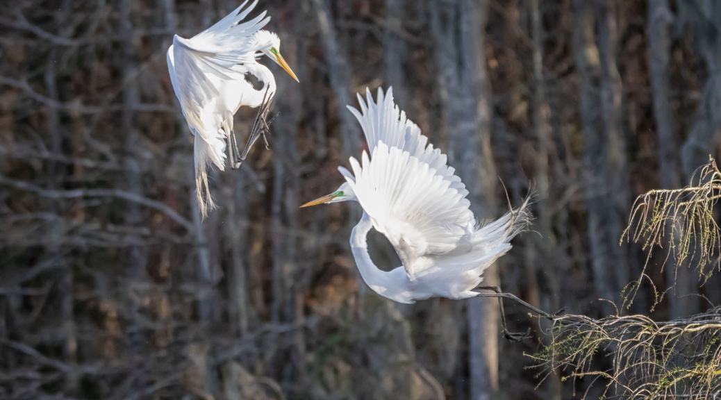 Arial Combat, Great Egret