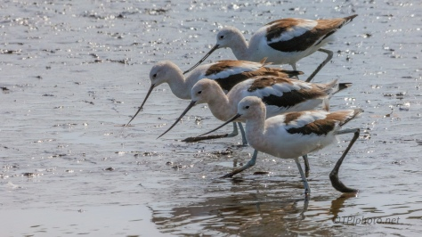 Avocets And A Little Glare
