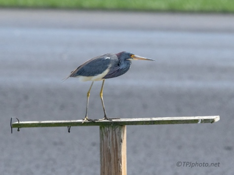 Tricolored Heron On An Old Sign