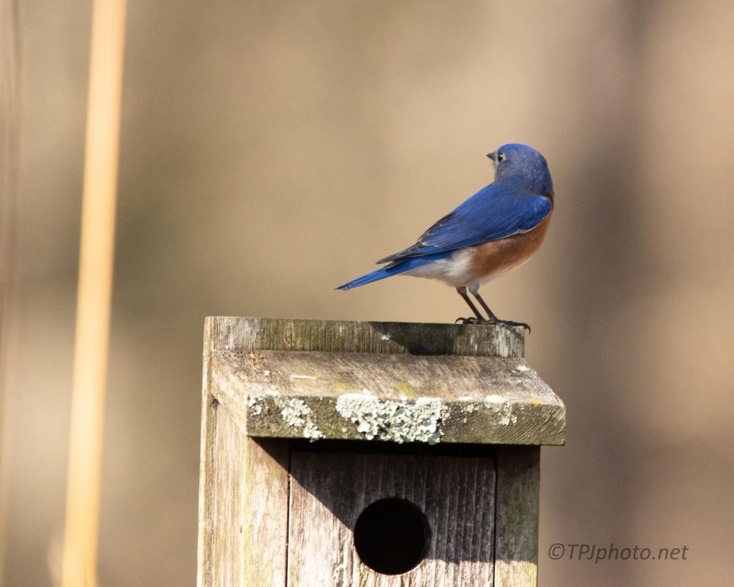 Typical Bluebird