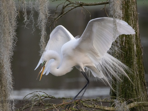 On A Cypress, Egret