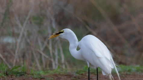 Caught A Fish, Egret