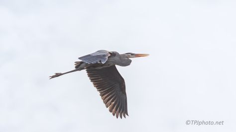 Great Blue, At A Marsh