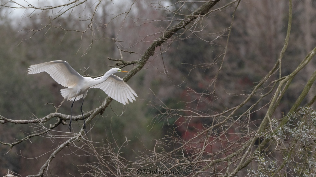 Egret Landing In The Thickets
