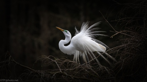 The Egret Dance