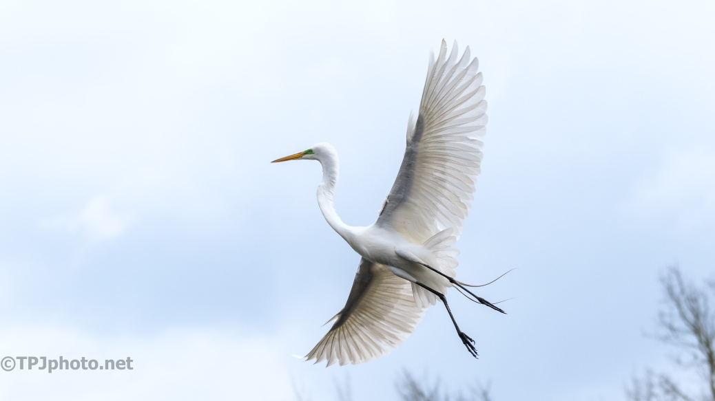 Great Egret, Graceful In Flight