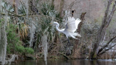 Through A Swamp, Great Egret