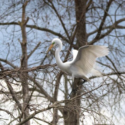 Dedication, Great Egret