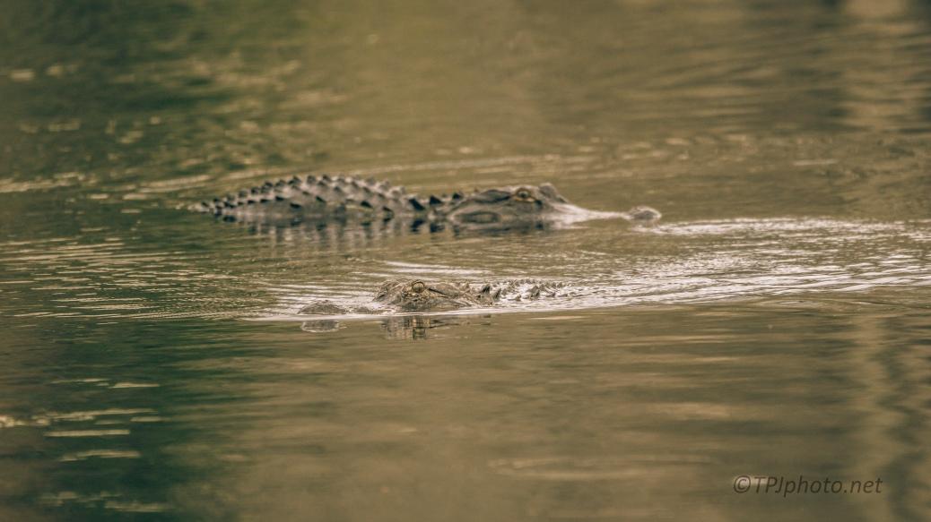 Close, But No Disagreements, Alligator